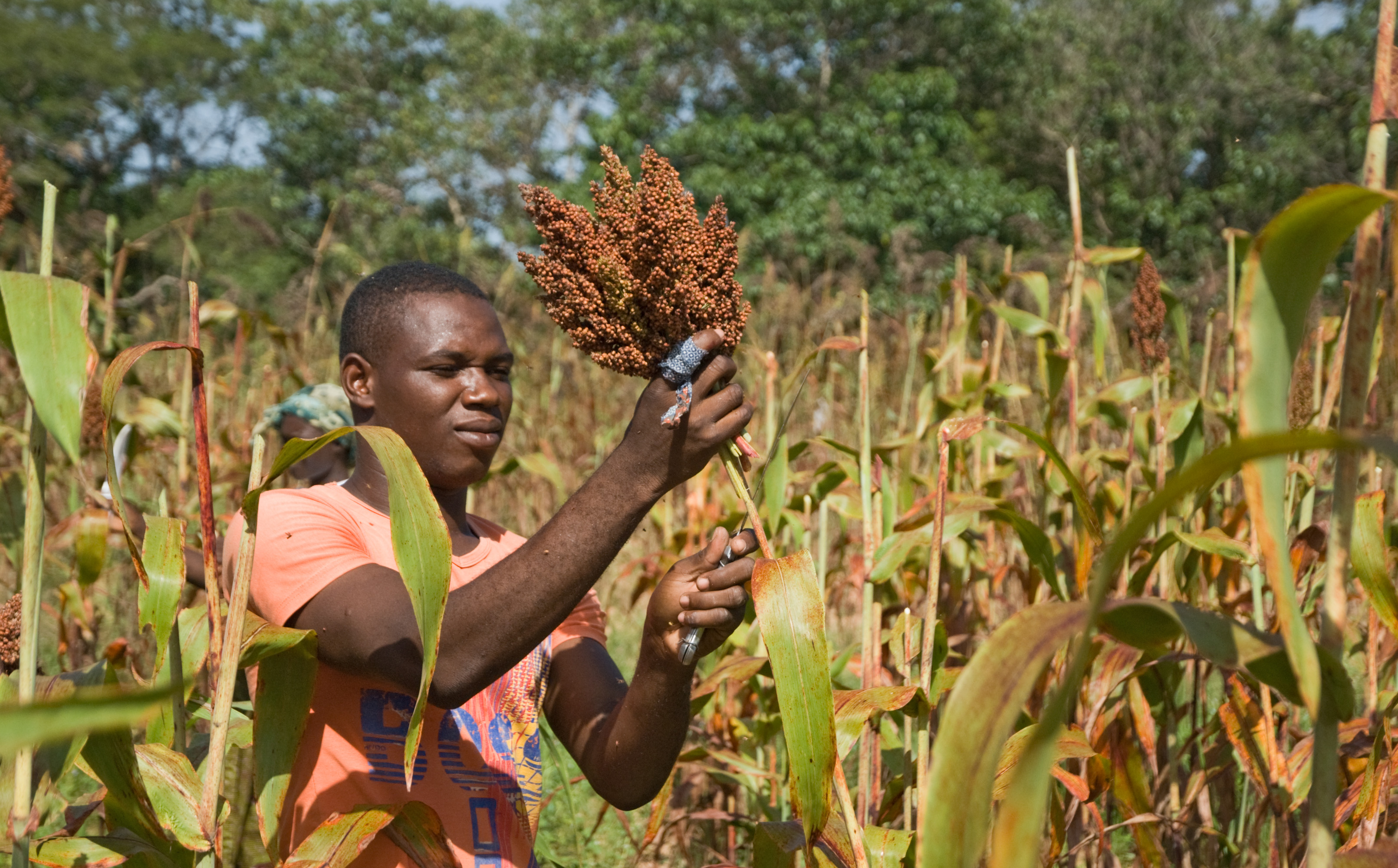 File sorghum harvesting cutting inera for 11 435