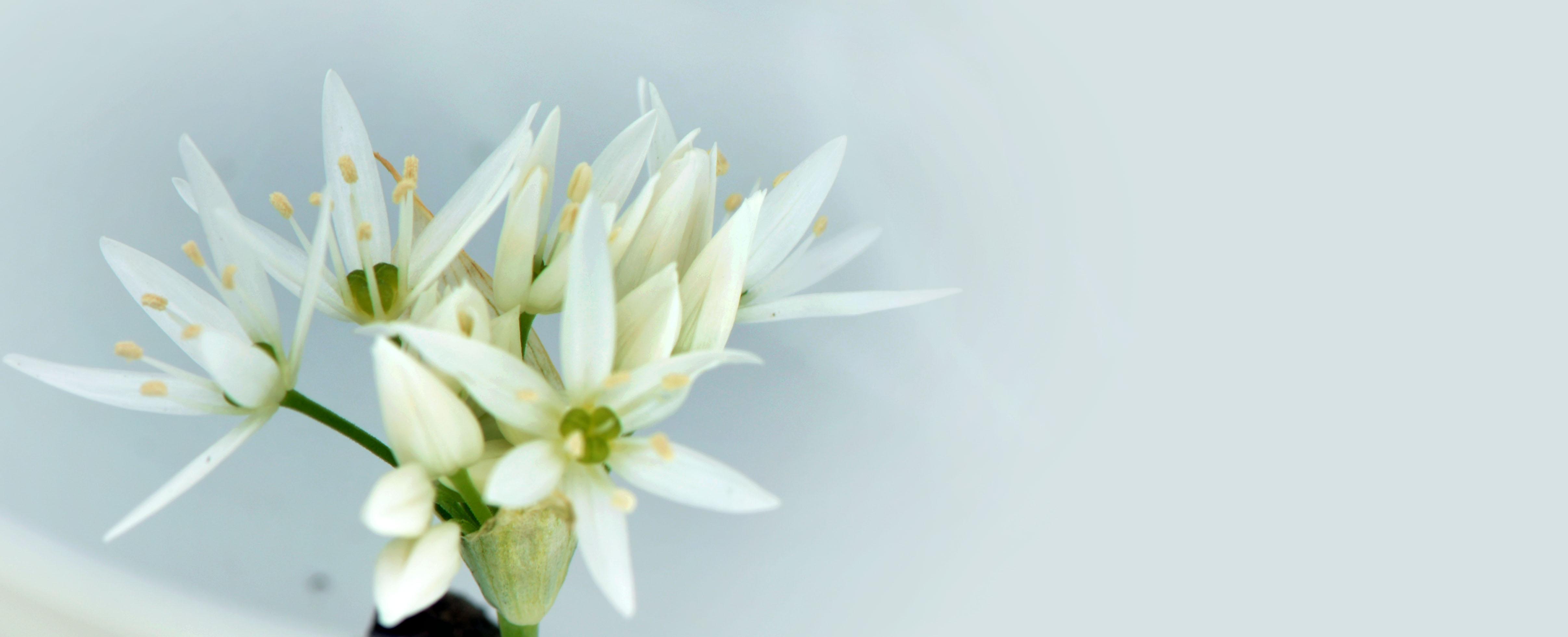 File Ail Des Ours Allium Ursinum Fleur 6 Mai 2016 Lamiot 03 Jpg