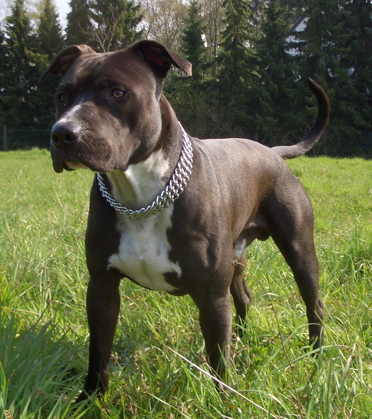 american staffordshire terrier - photo #26