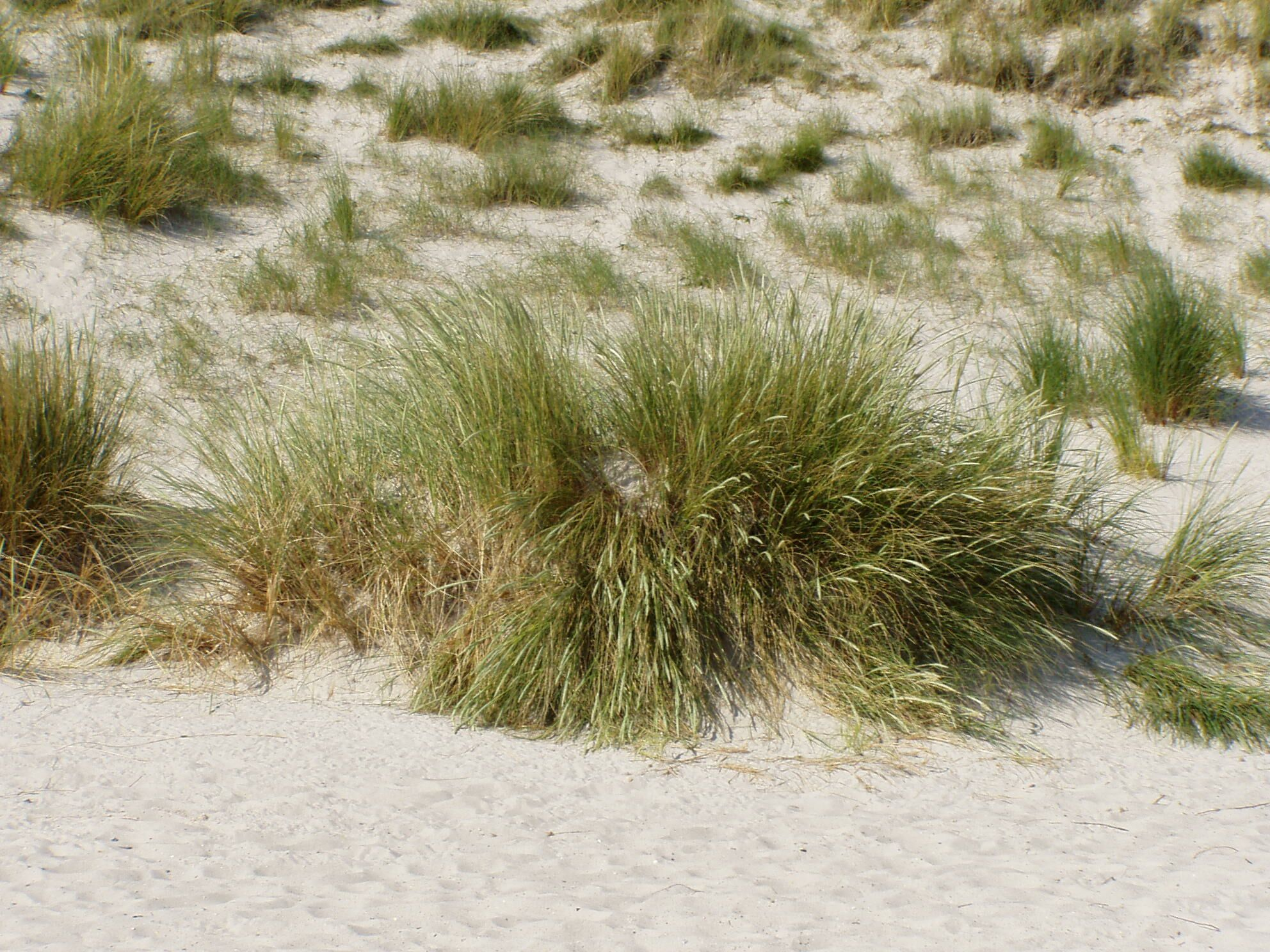 foto de File:Ammophila arenaria auf Düne4Wikimedia Commons