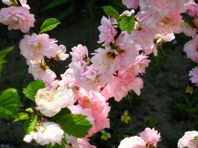 les fleurs doubles de l'amandier de chine