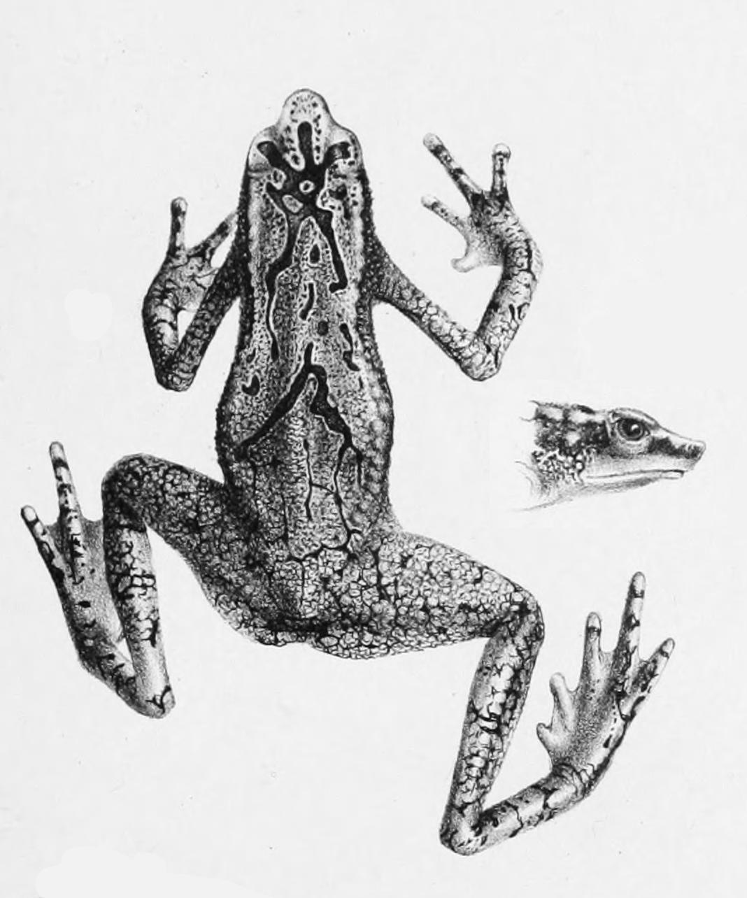 Atelopus Cruciger Wikipedia La Enciclopedia Libre