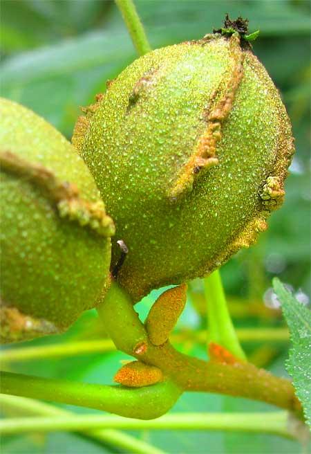 Bitternut-fruit.jpg