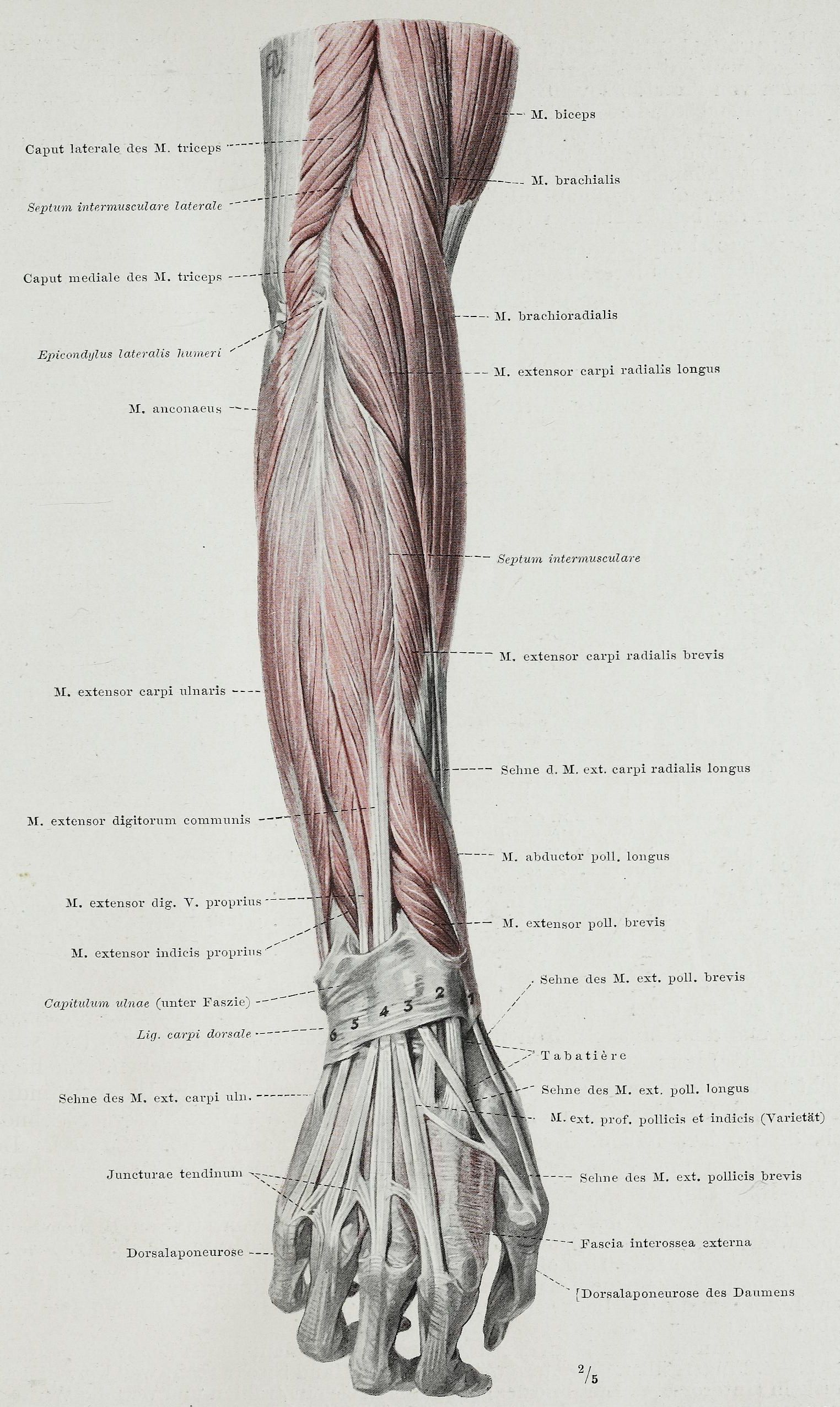 File:Braus 1921 182.png - Wikimedia Commons