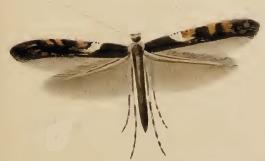 Caloptilia semifascia.JPG