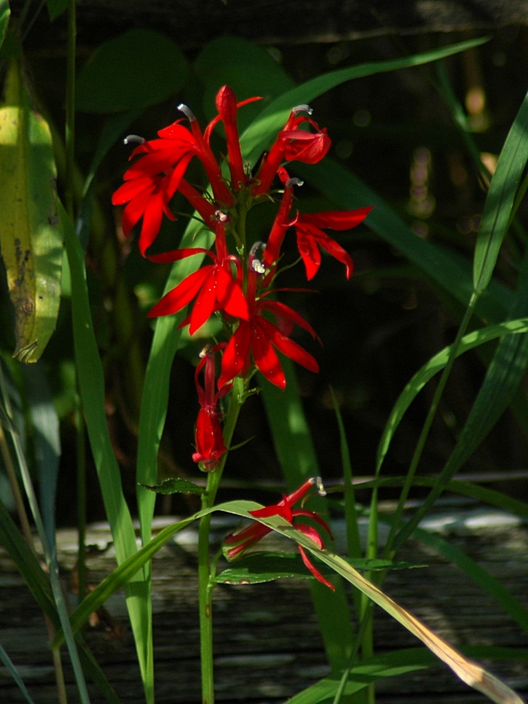 File Cardinal Flower Lobelia Cardinalis 007 Jpg Wikimedia Commons