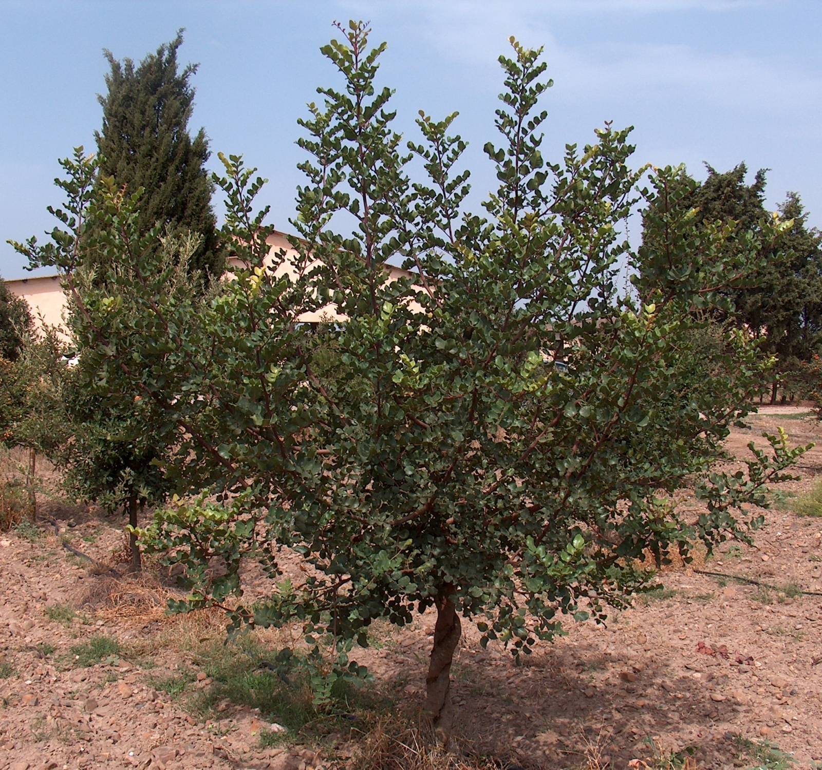 Carob bush, Locust Beans