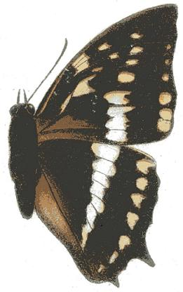 Description de l'image Charaxes odysseus.JPG.