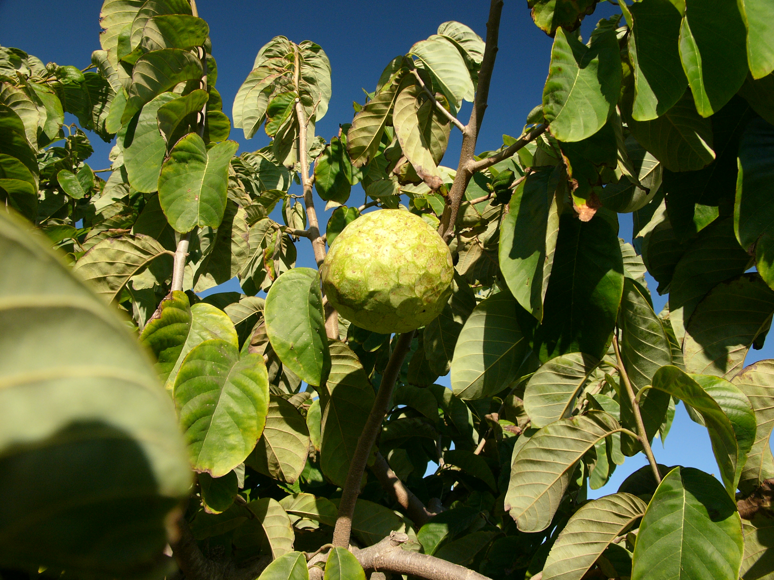 Quel Fruit Planter cherimoya - wikipedia