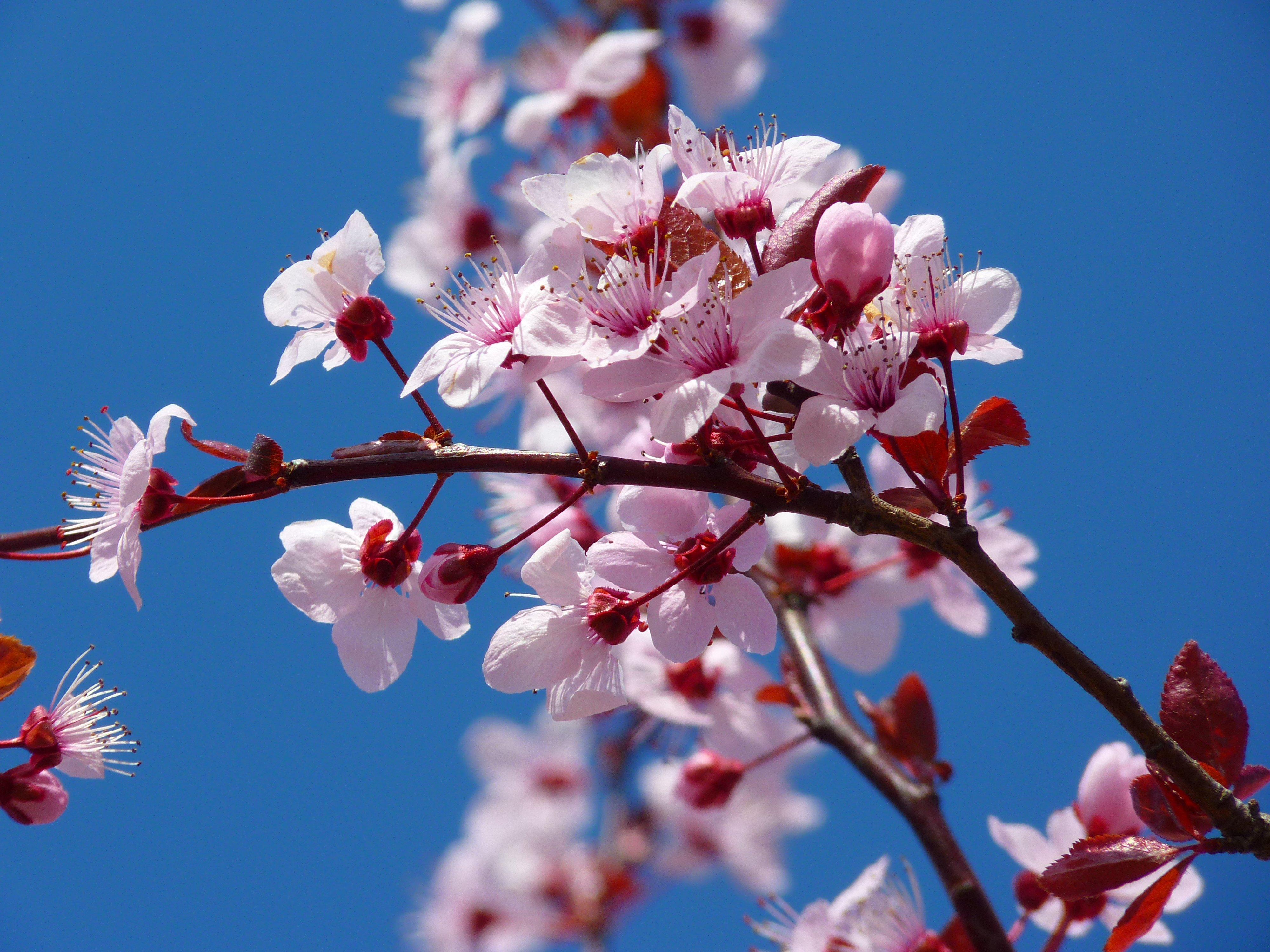 bedeutung kirschblüten