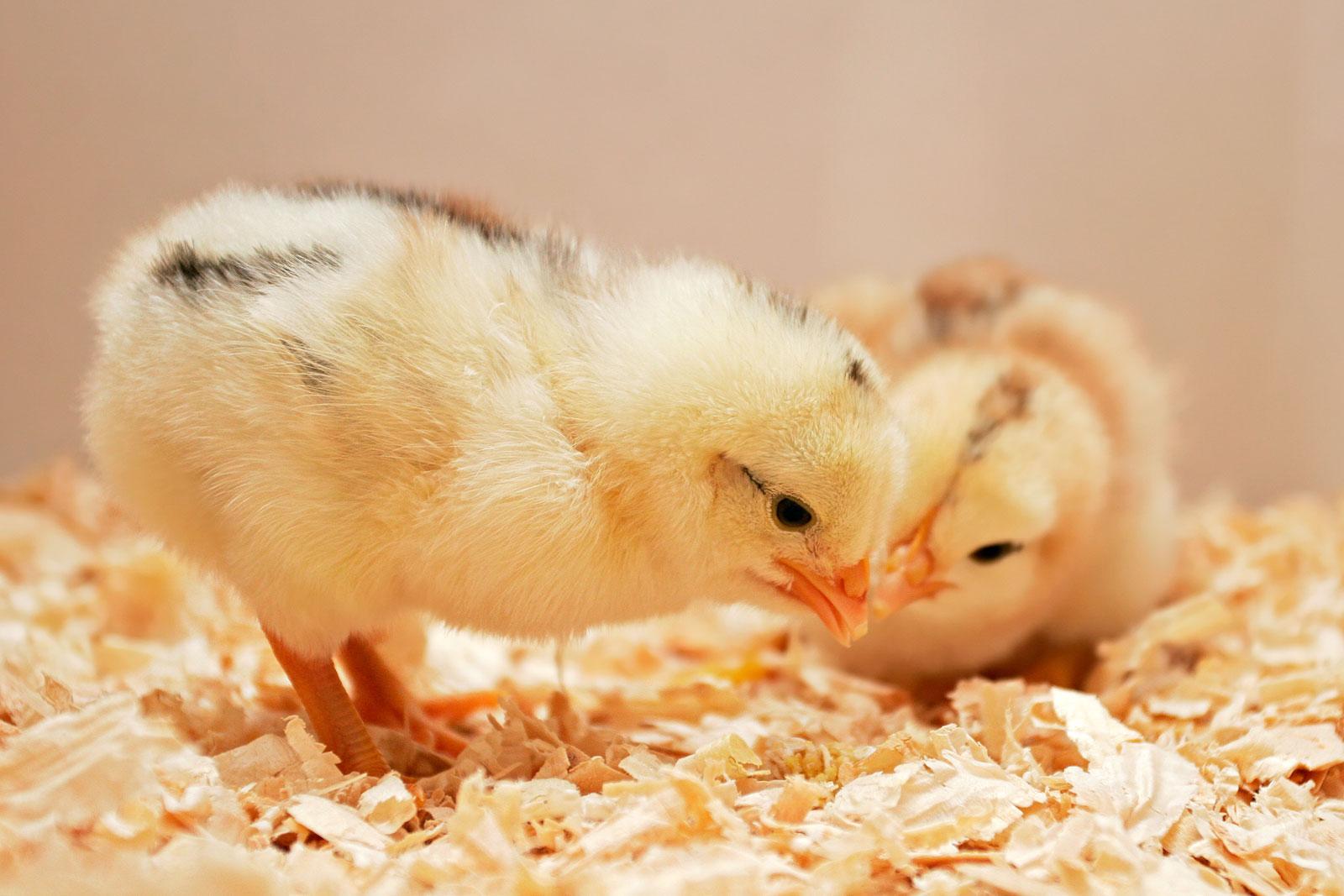 Old Chicks
