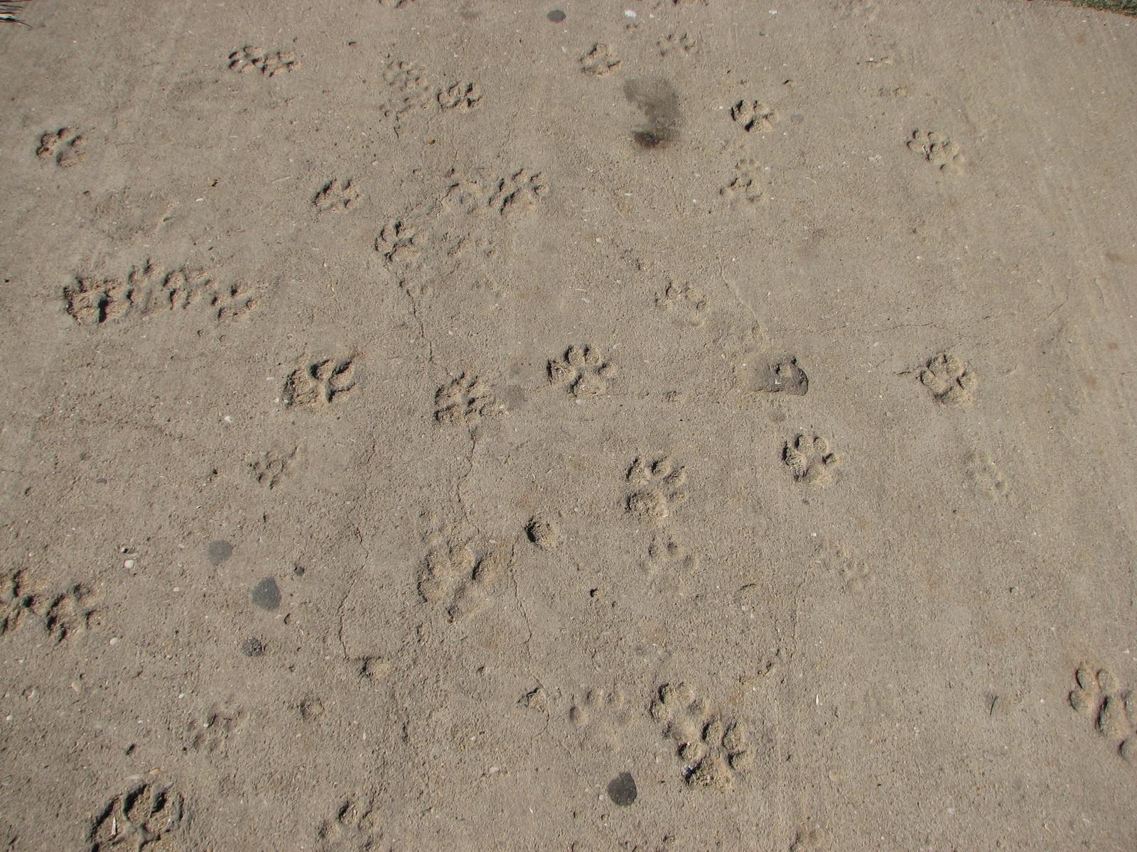 ca058cf63 File Dog paw prints in the sand - Lagos - The Algarve