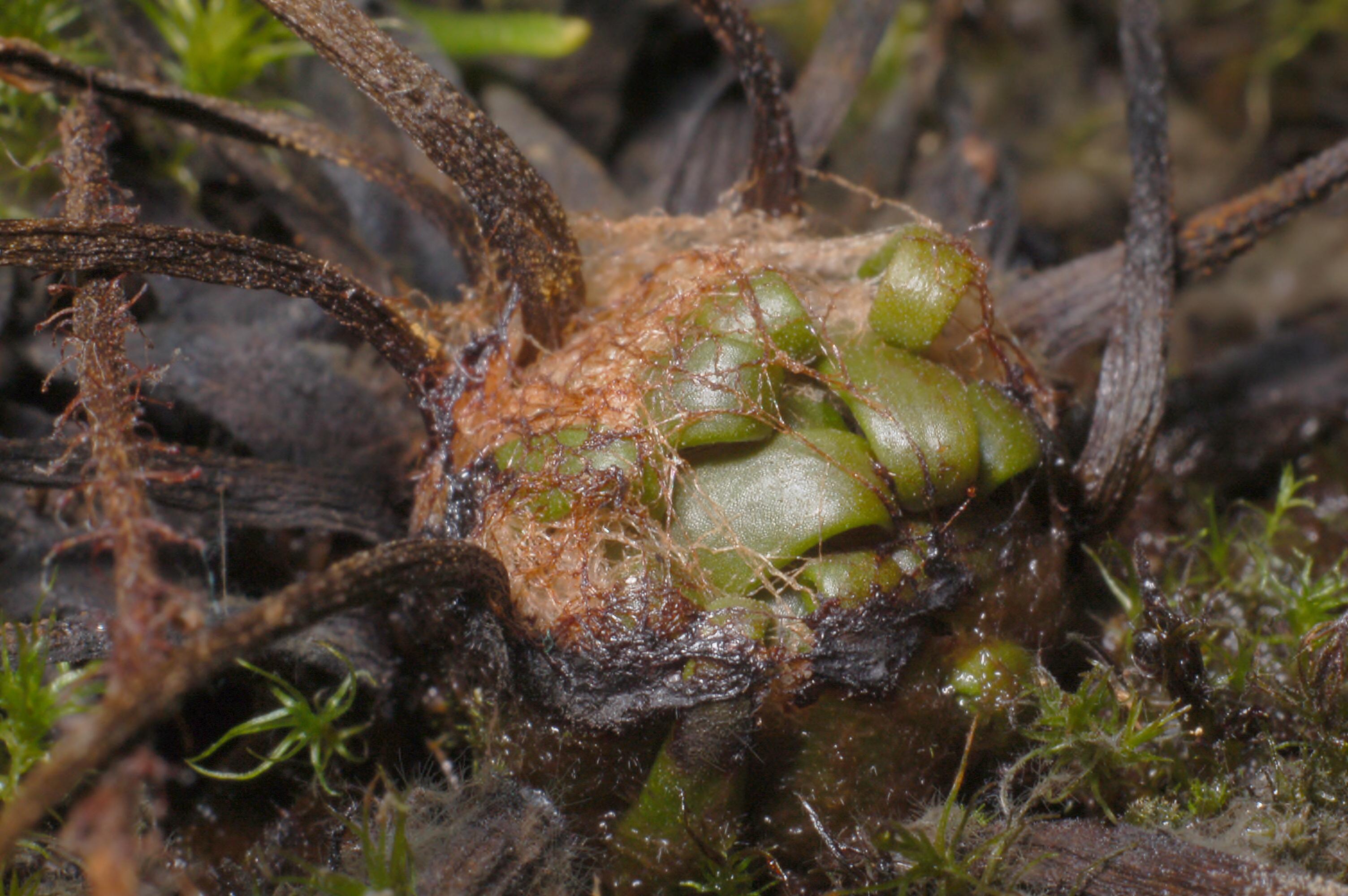 Drosera filiformis hibernacula Darwiniana.jpg