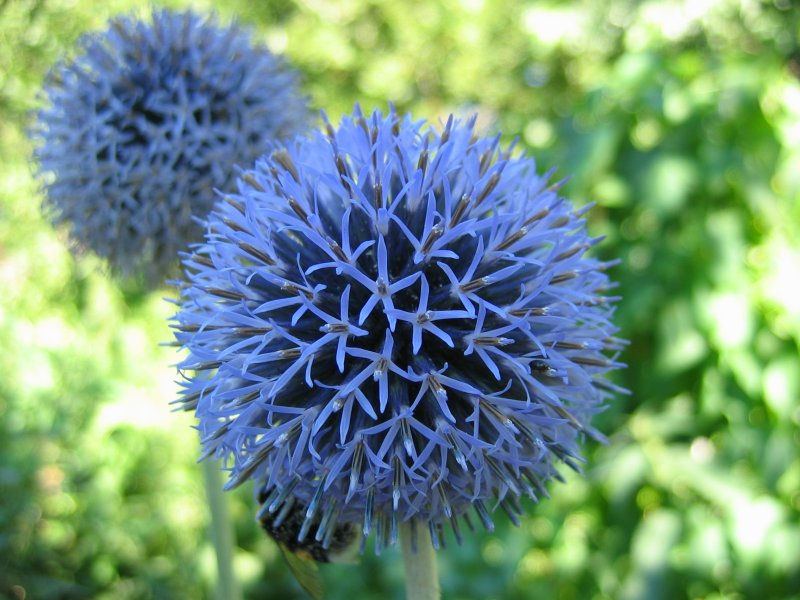 Мордовник цветка