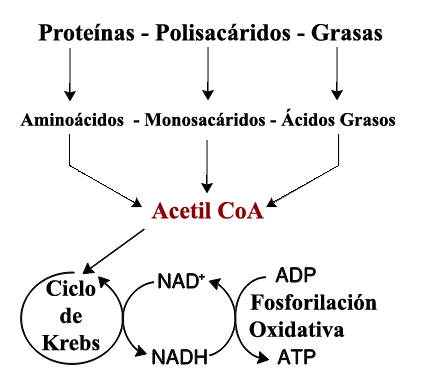 glucolisis ruta anabolica y catabolica