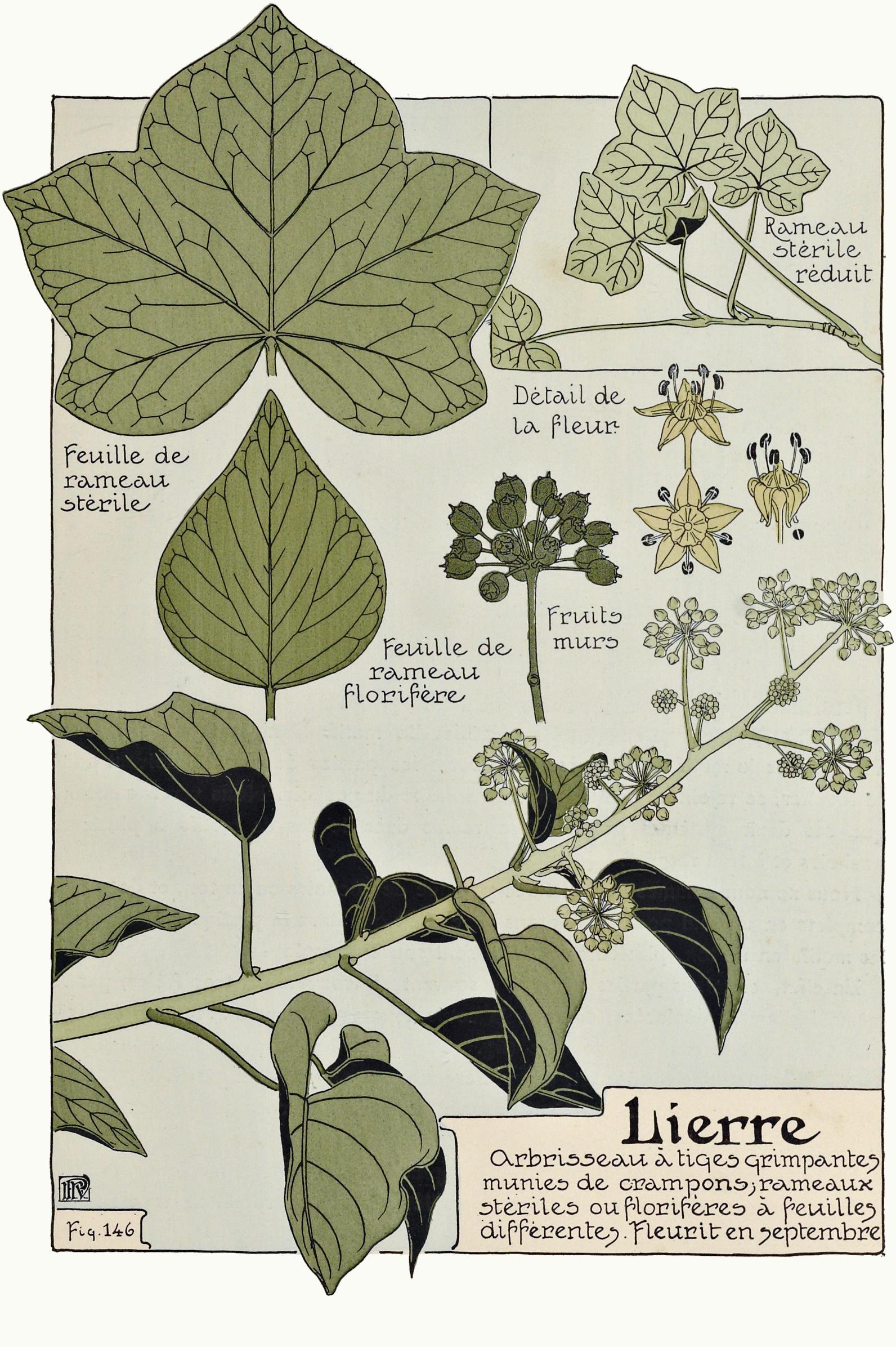 Plante Sur Les Murs file:etude de la plante - p.107 fig.146 - lierre