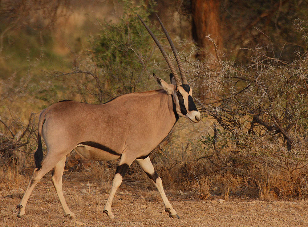 East African oryx - Wikipedia, the free encyclopedia
