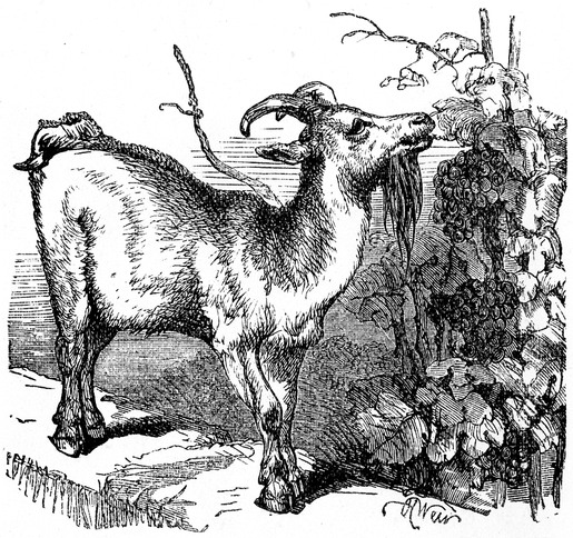 LA CHEVRE EN CORSE dans CHEVRE Goat_Drawing
