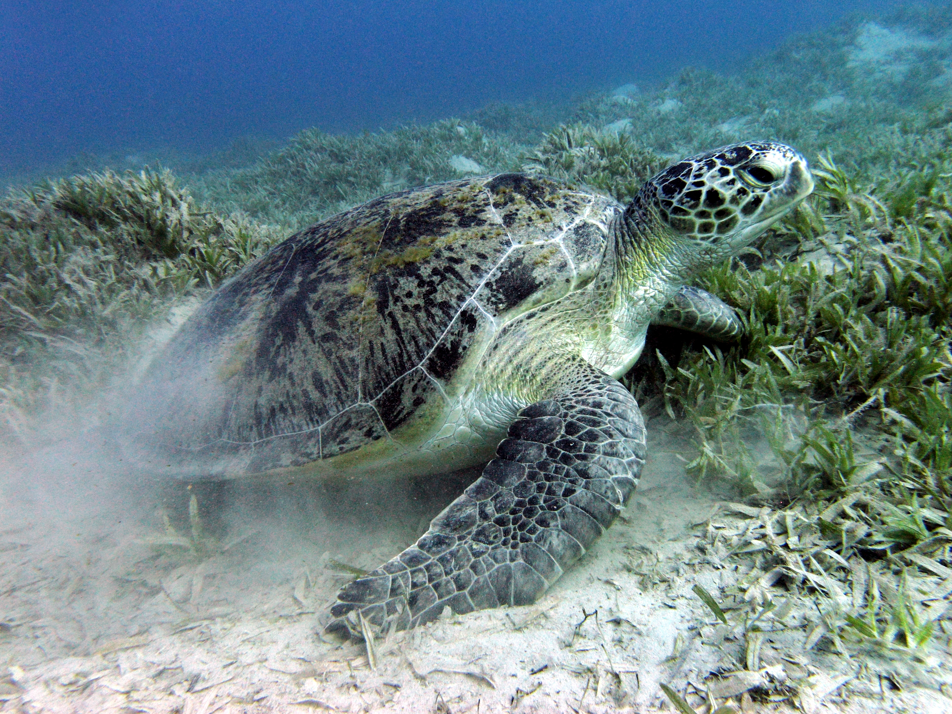 Green Turtle Nesting in Florida