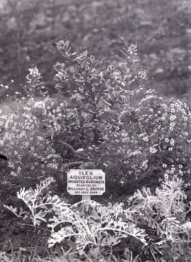 Tree planted by Millicent Browne
