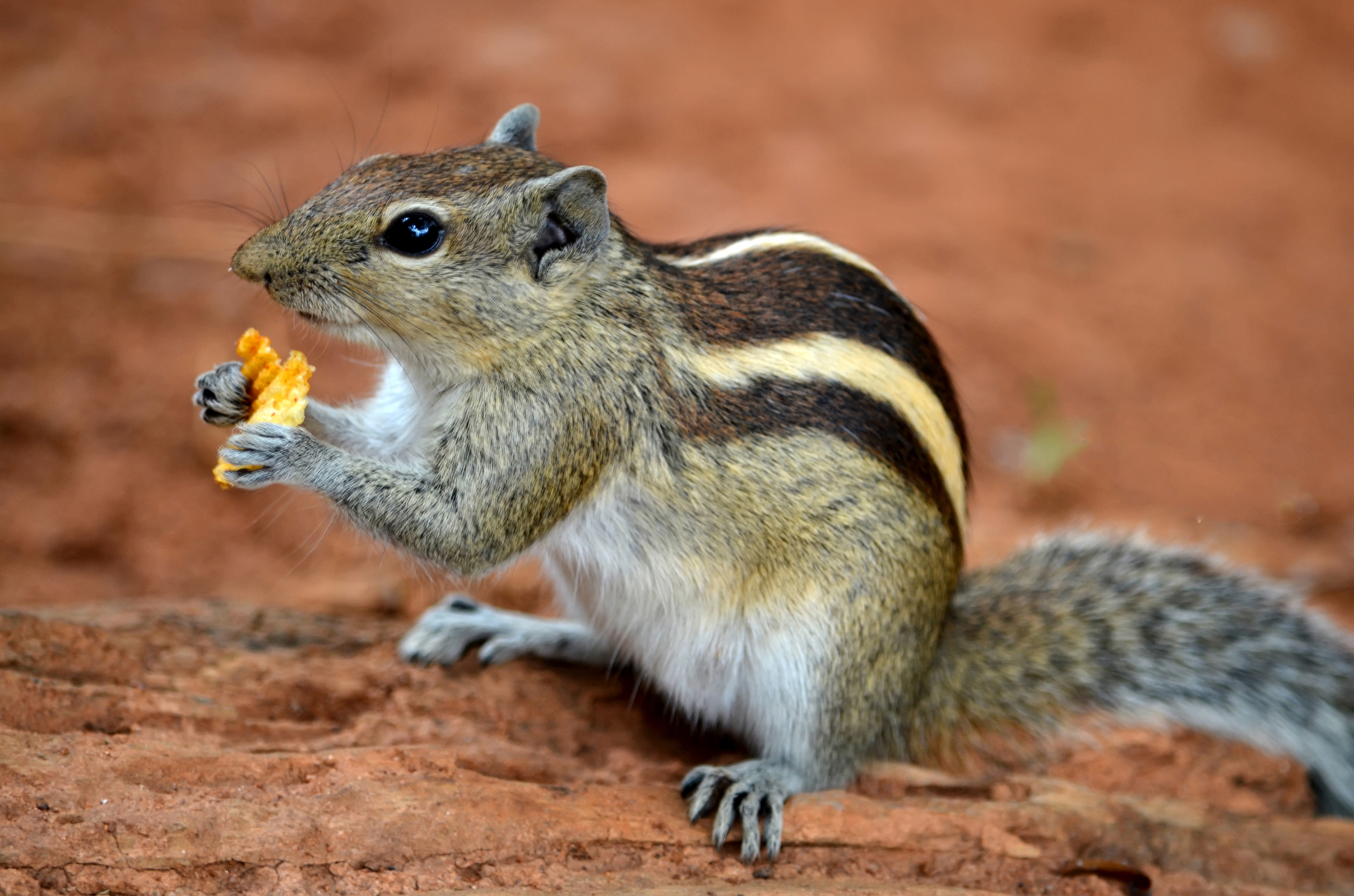 File:Indian Palm Squirrel DS.jpg - Wikimedia Commons