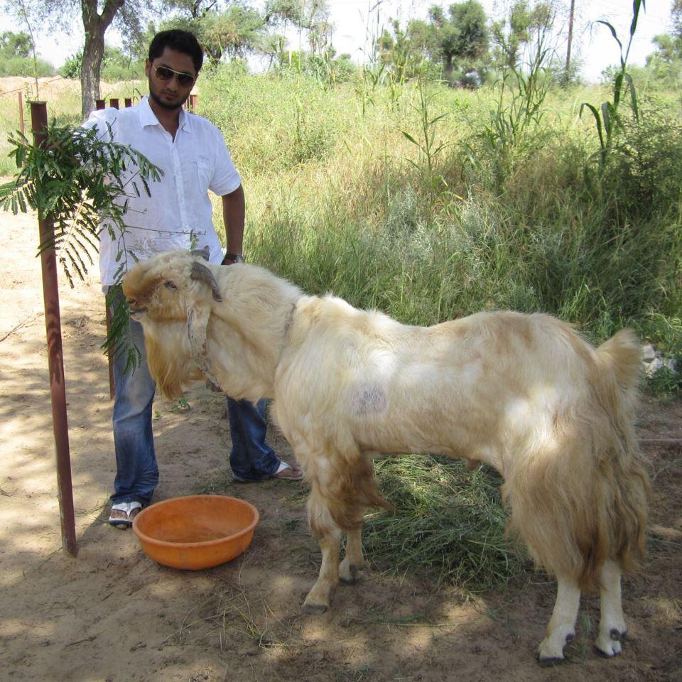 File:Jamunapari Buck.j...