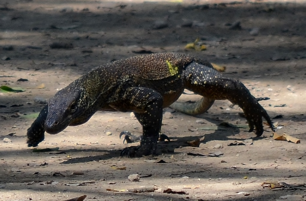 Komodo Dragon Wikipedia: File:Komodo Dragon Juvenile, Komodo, 2016 (01).jpg