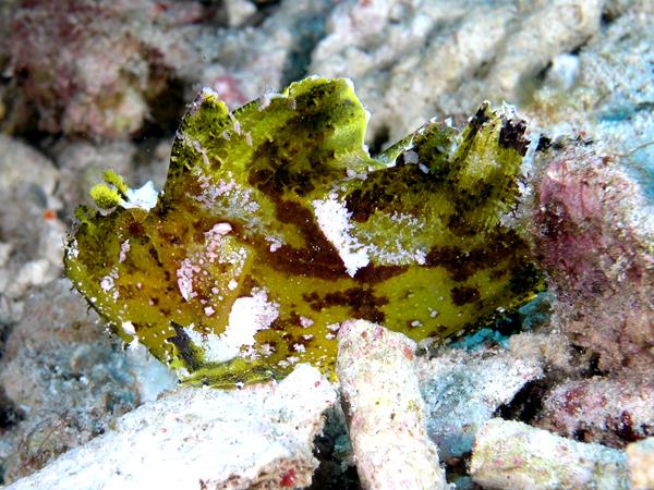 FileLeaf scorpionfish komodo  Leaf Scorpionfish