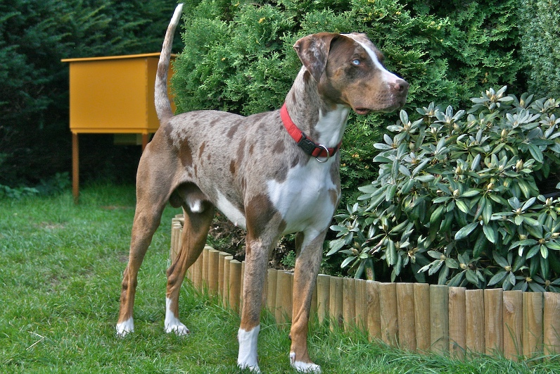 Description Louisiana Catahoula Leopard Dog - Red Leopard.jpg