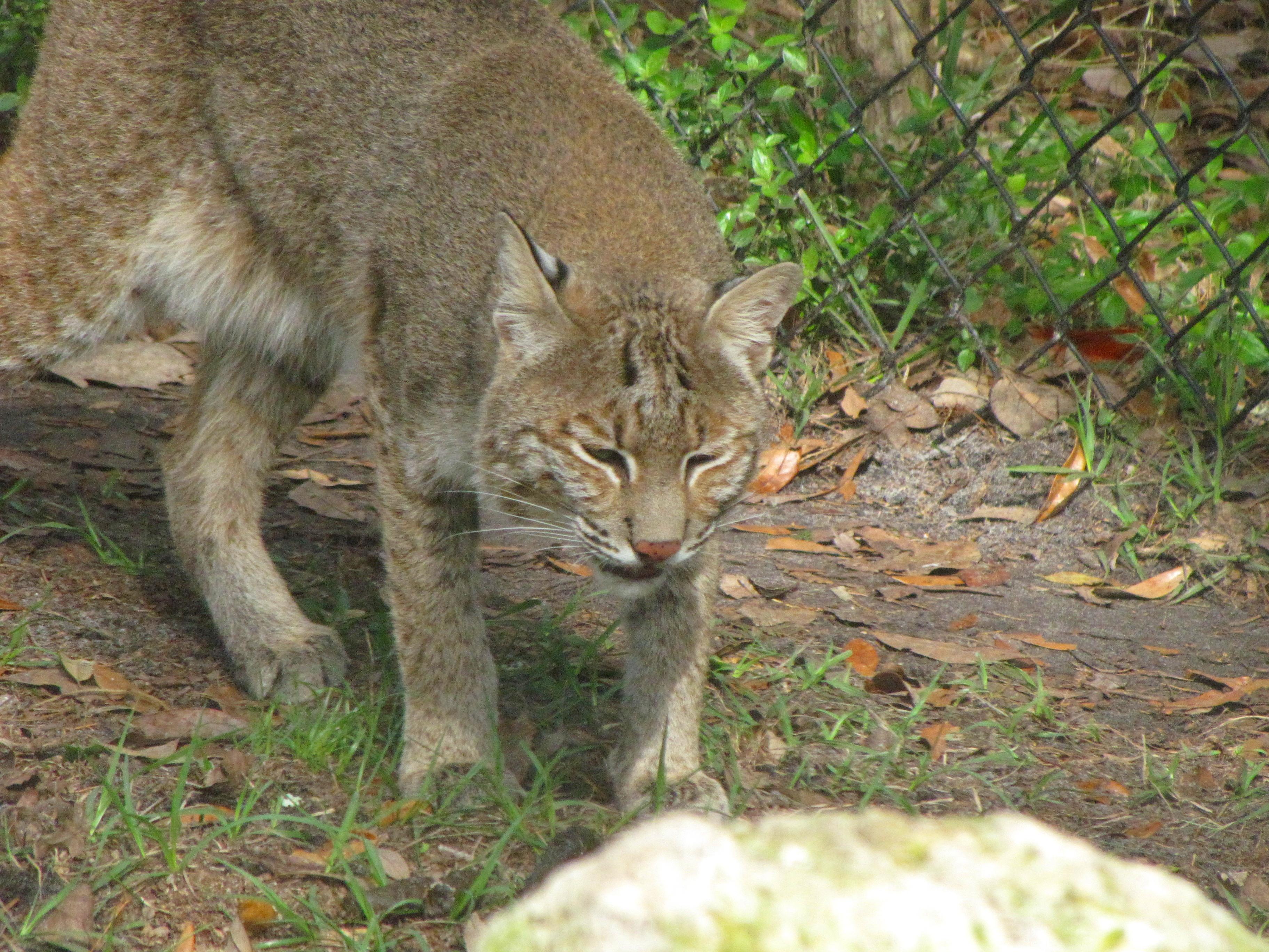 Big Cats Everglades