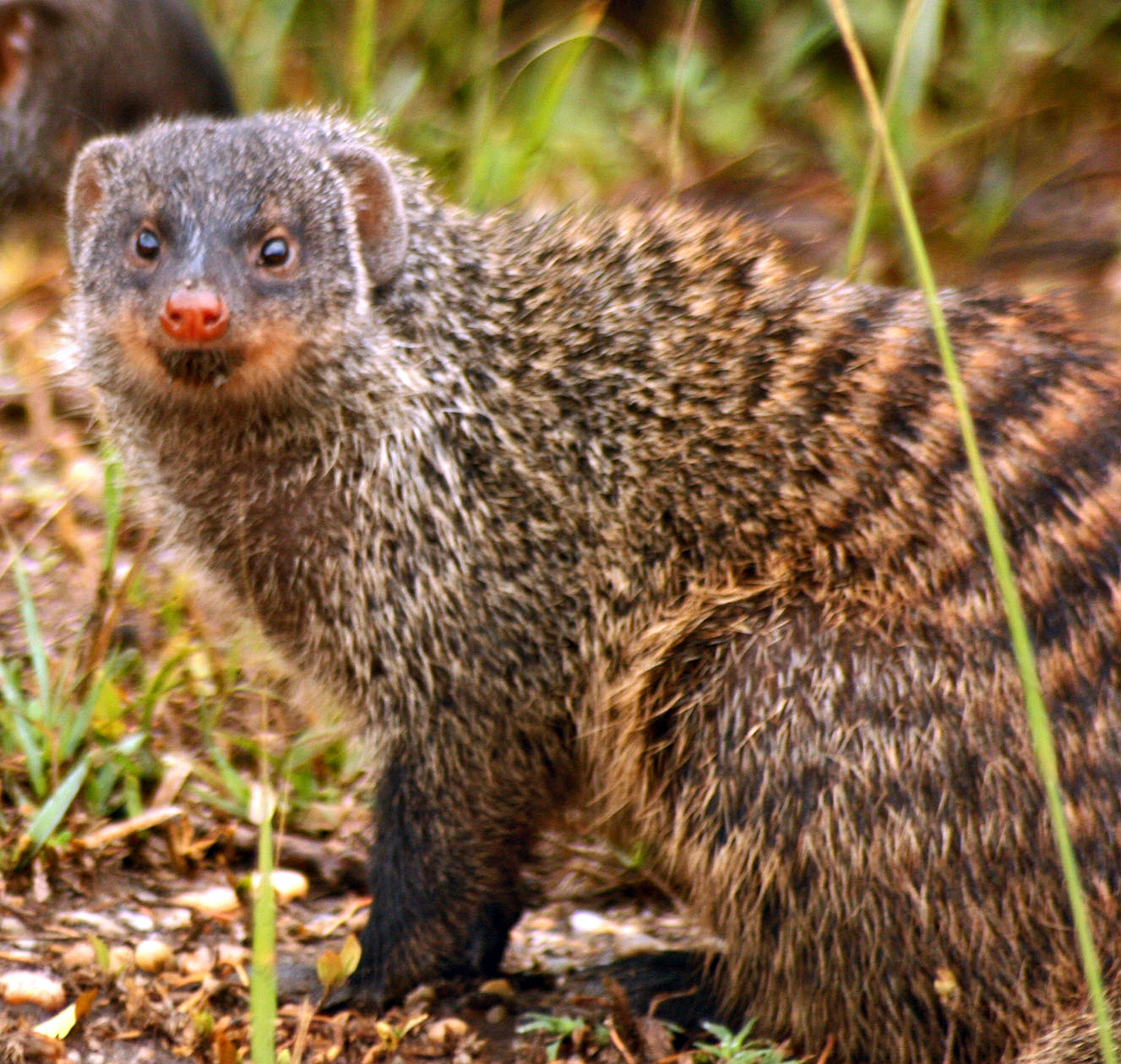 the mongoose The mongoose has a generalized diet that includes small to medium-sized invertebrates such as rabbits, rodents, birds and reptiles, and they have no objections to eating the carrion of larger mammals.