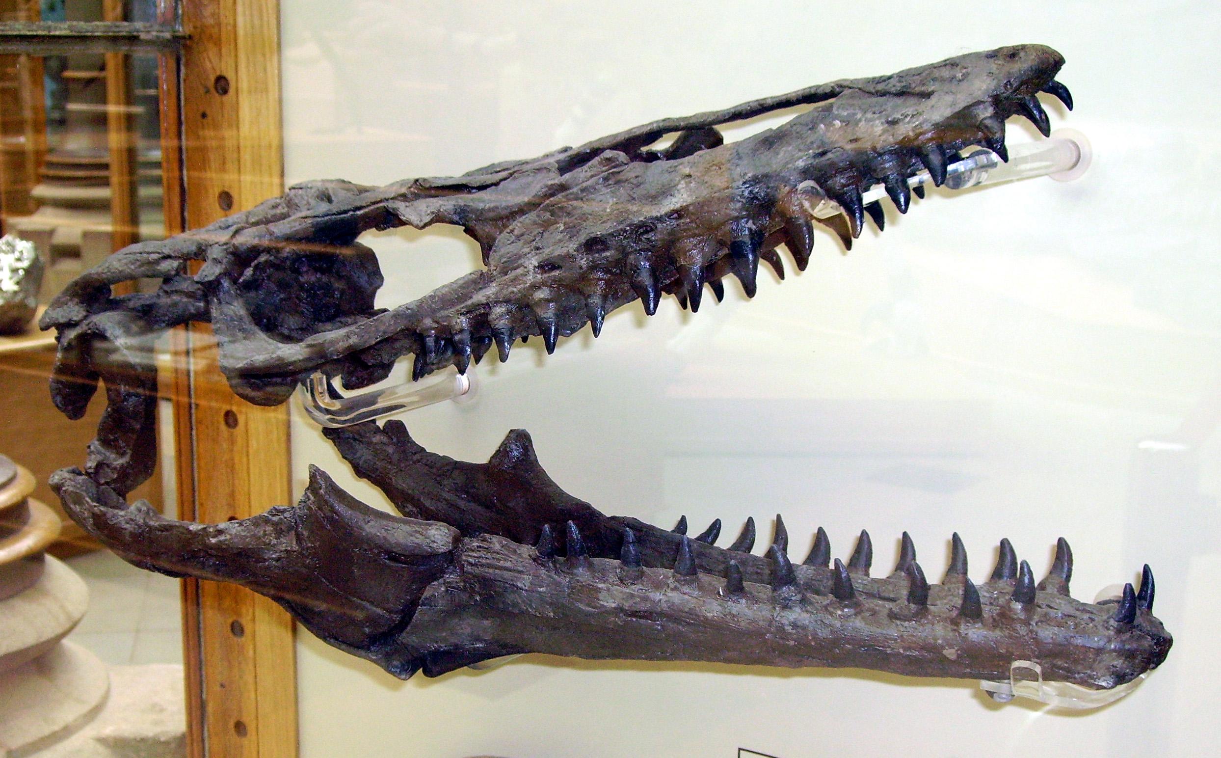 File:Mosasaur skull.JPG - Wikimedia Commons