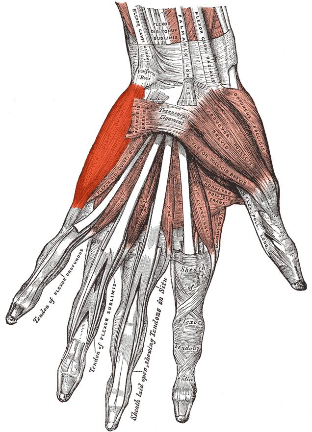 Abductor digiti minimi muscle of hand - Wikipedia
