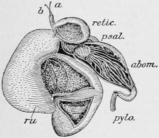 Retículo (anatomía) - Wikipedia, la enciclopedia libre
