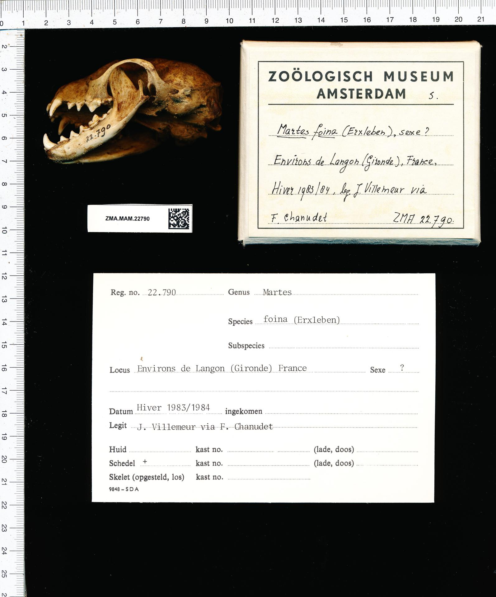 File:Naturalis Biodiversity Center - ZMA.MAM.22790 lat - Martes foina Erxleben - skull.jpeg