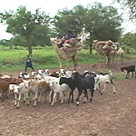 Tuareg pastoralists and their herds flee south into Nigeria from Niger during the 2005–06 Niger food crisis.