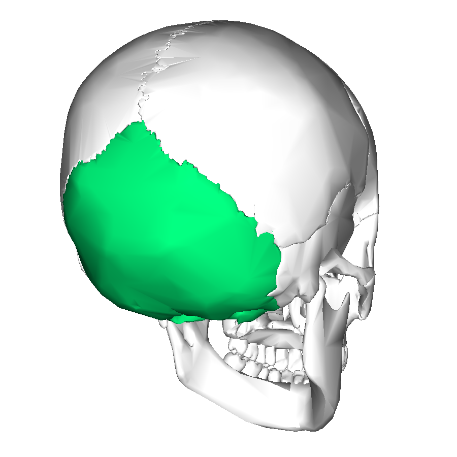 C in addition Lateral View Skull furthermore Lab23 moreover File HumanMandibleLeft in addition Skeletal Anatomy Part 1. on lateral skull labeled