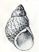 Phasianella aethiopica 001.jpg