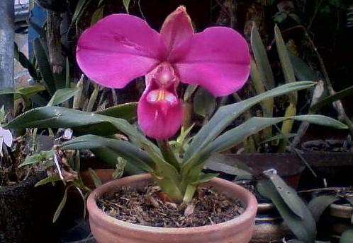 Phragmipedium peruvianum