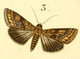<i>Lophoptera litigiosa</i> Species of moth
