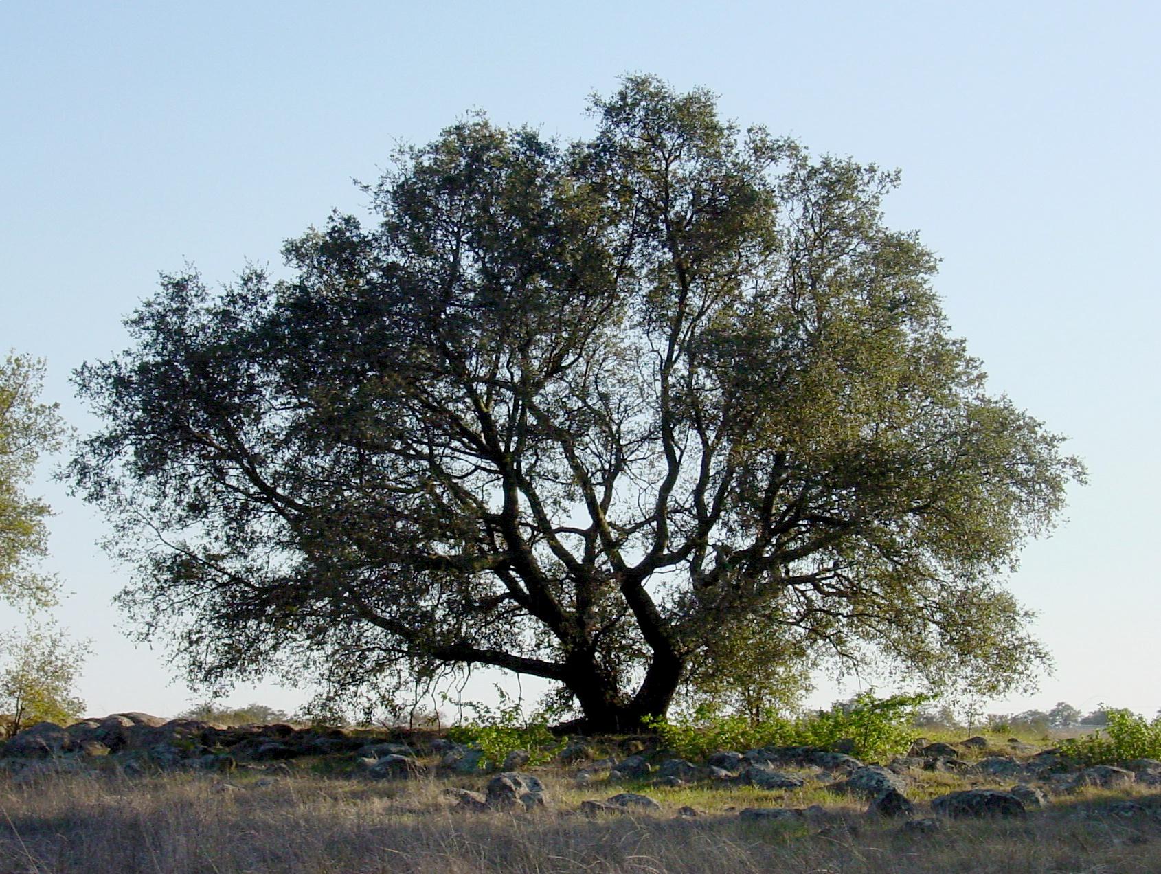 Quercus_englmannii_sillouette.jpg