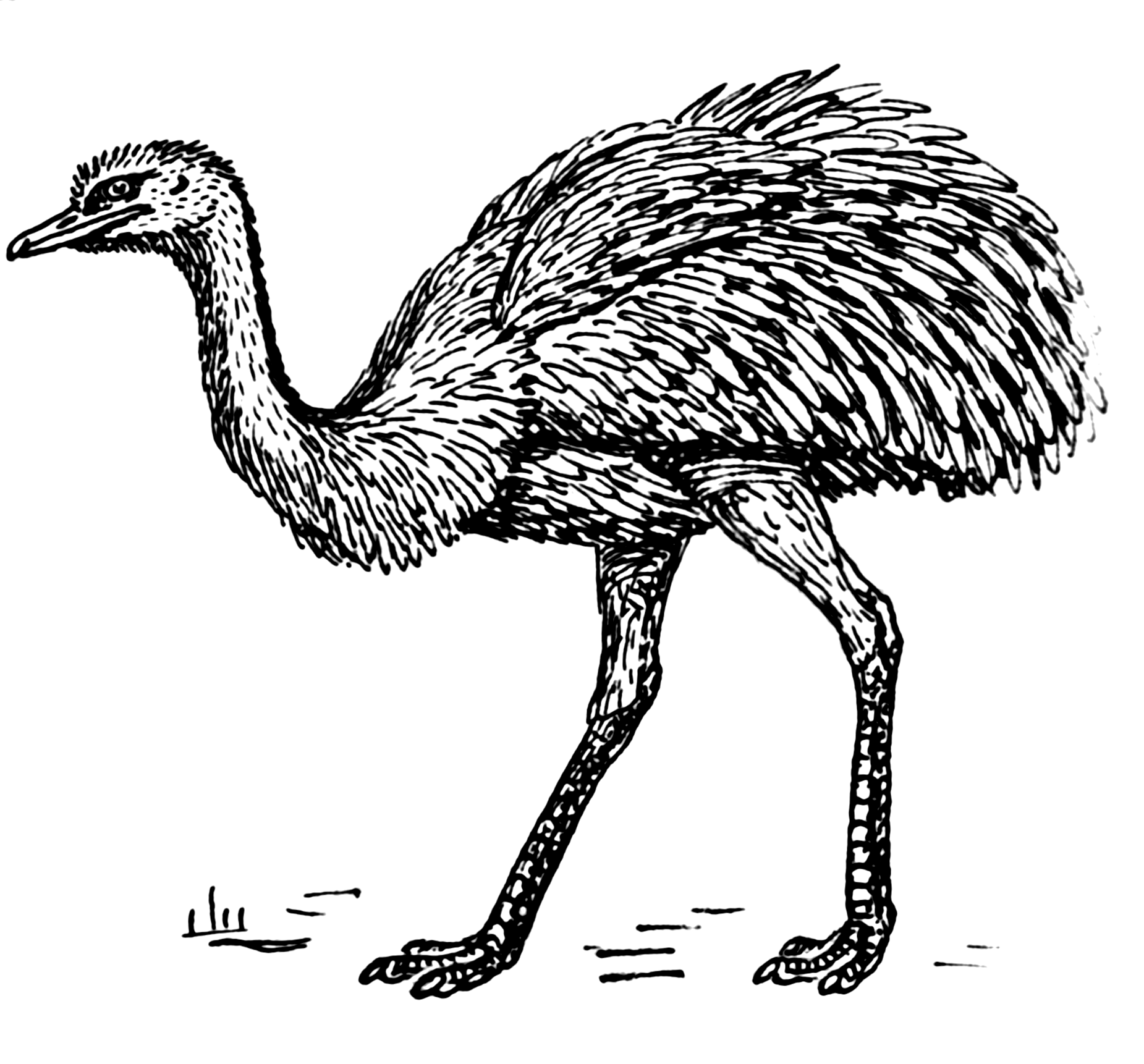 Line Art Emui : File rhea psf wikimedia commons