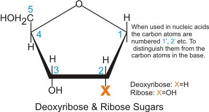 deoxyribose vs ribose - photo #19