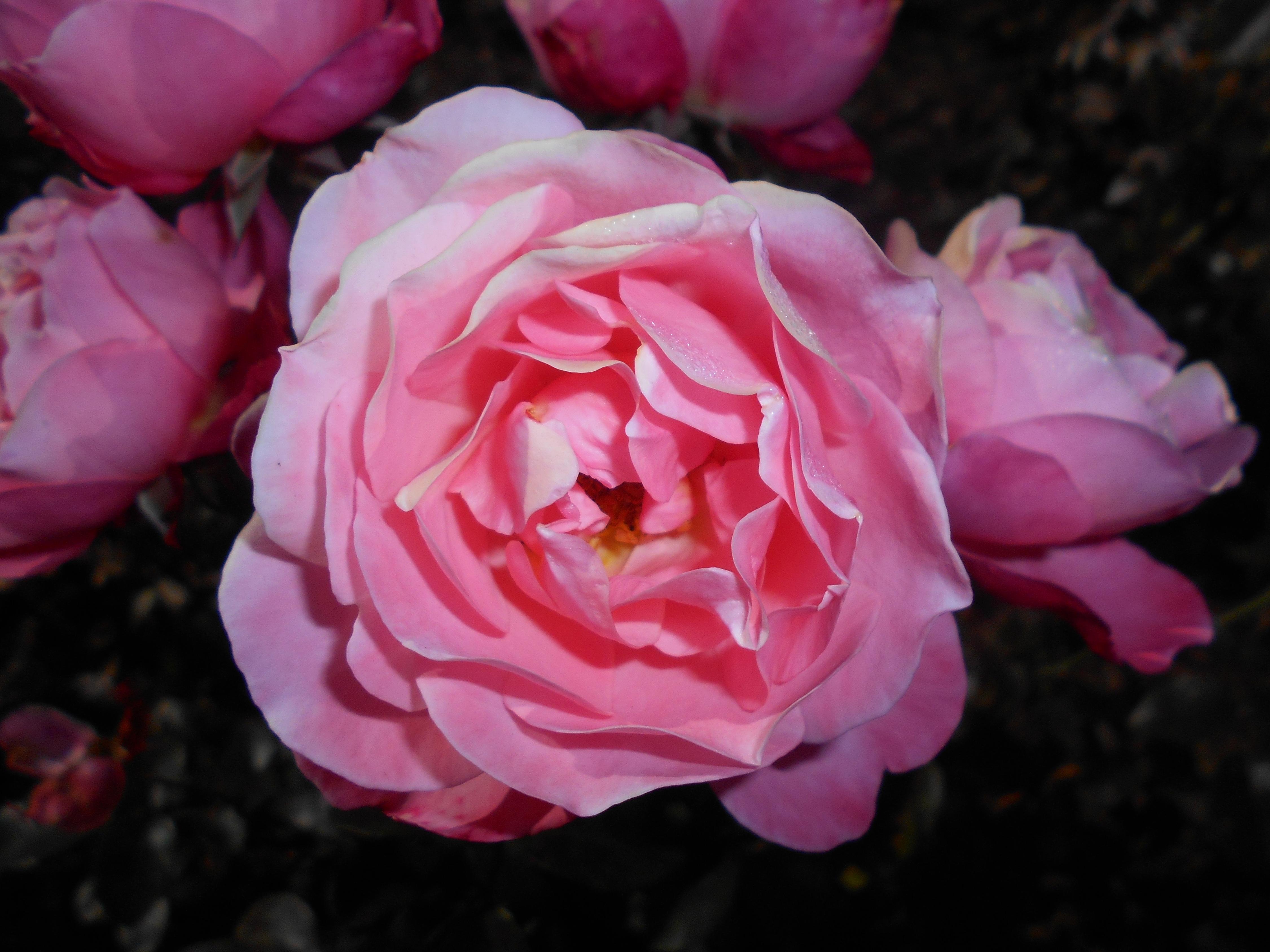Filerosa Mein Schoner Garten 2017 10 02 6762jpg Wikimedia Commons