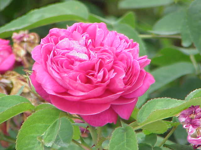 File:Rosa damascena5.jpg