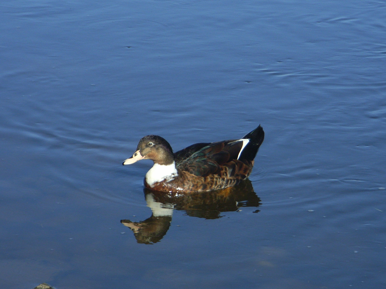 Ente Themse
