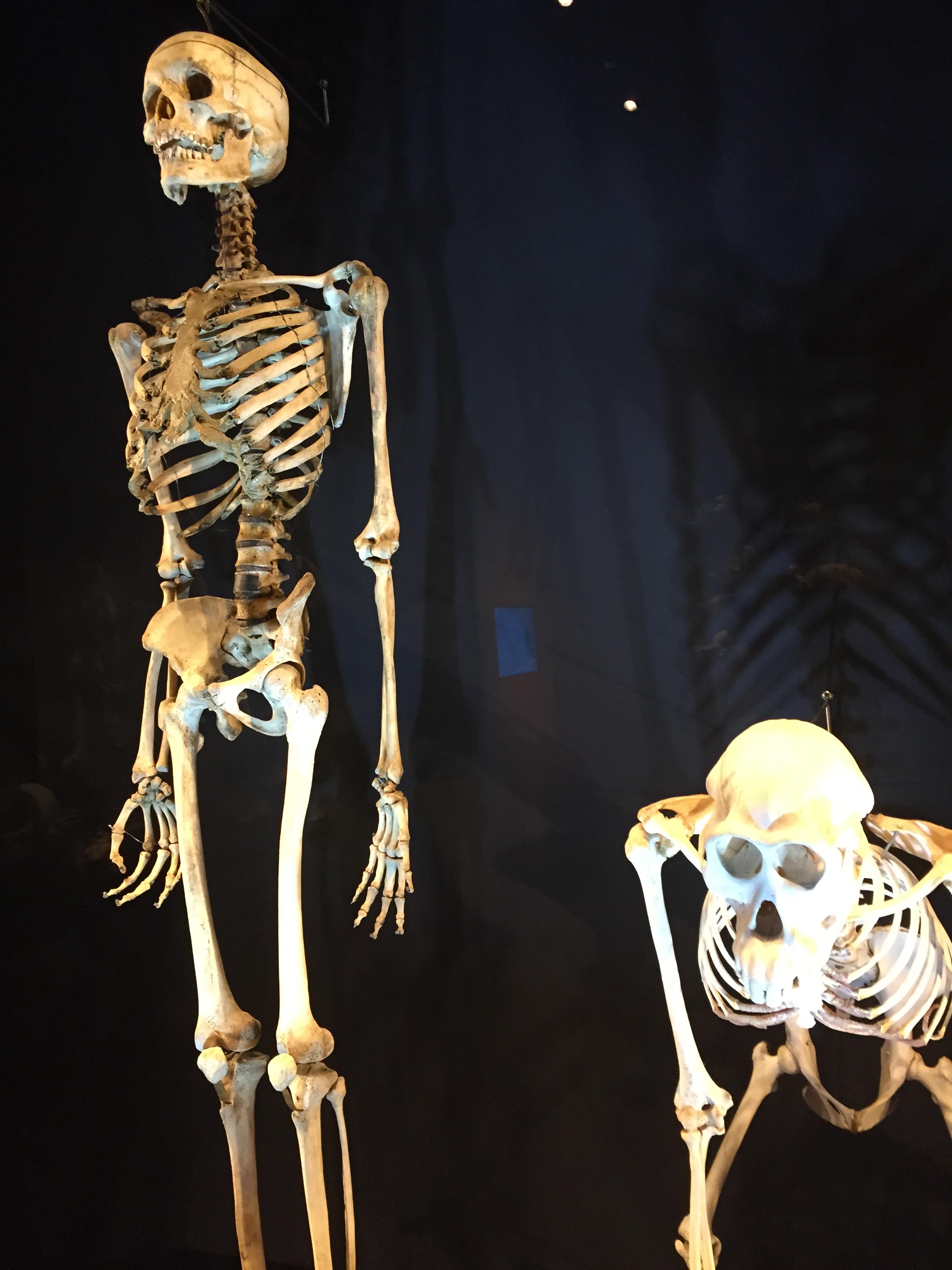 File Skeletons Of A Male Human  Homo Sapiens  And A Bornean Orangutan  Pongo Pygmaeus   Lee Kong