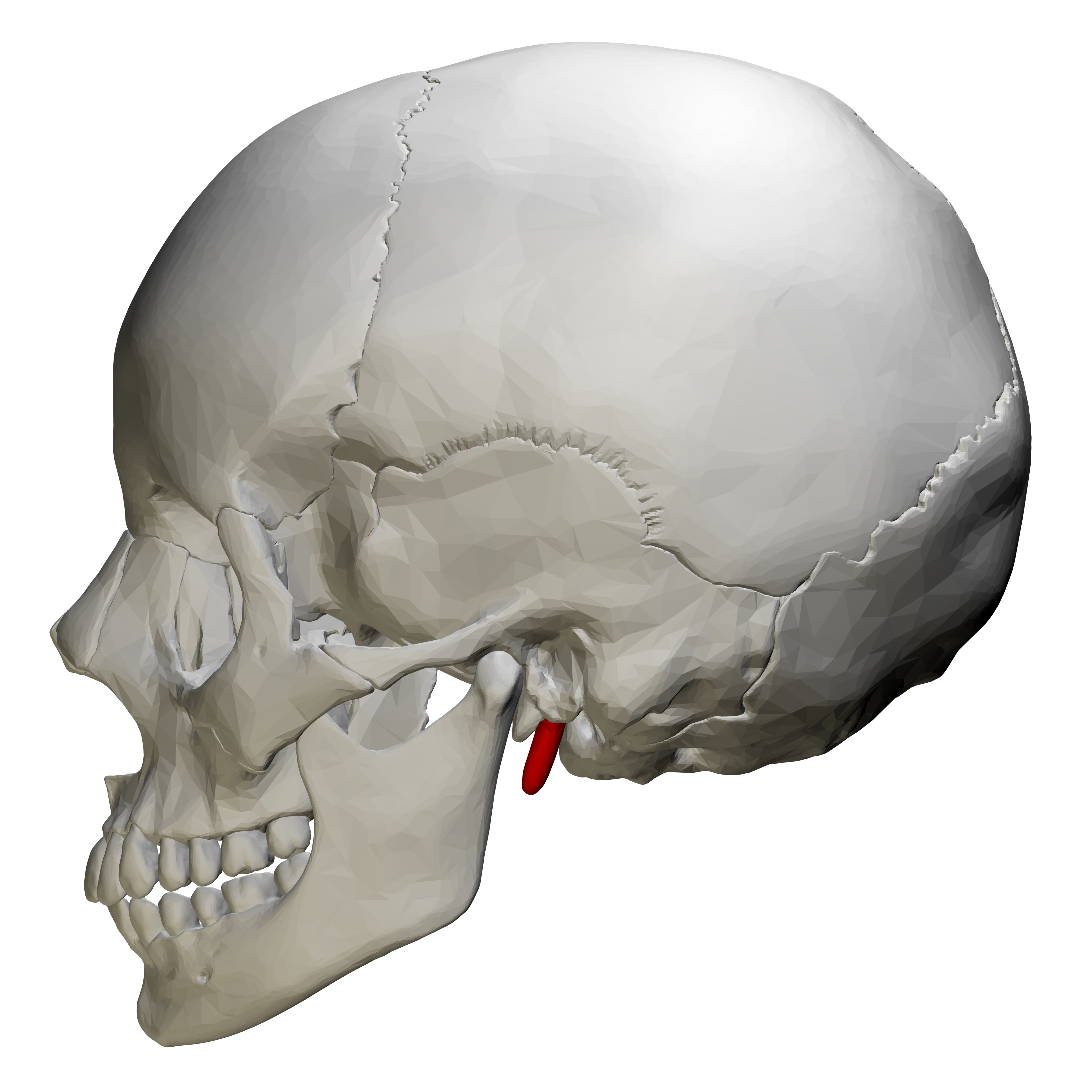 File:Styloid process of temporal bone - lateral view01.png Temporal Bone
