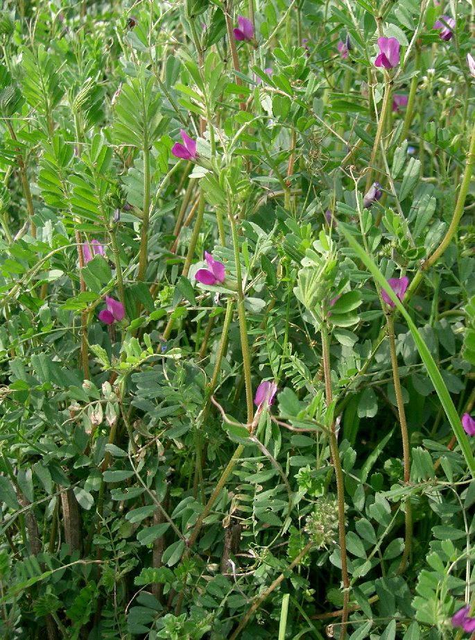File:Vicia angustifolia2.jpg - Wikimedia Commons