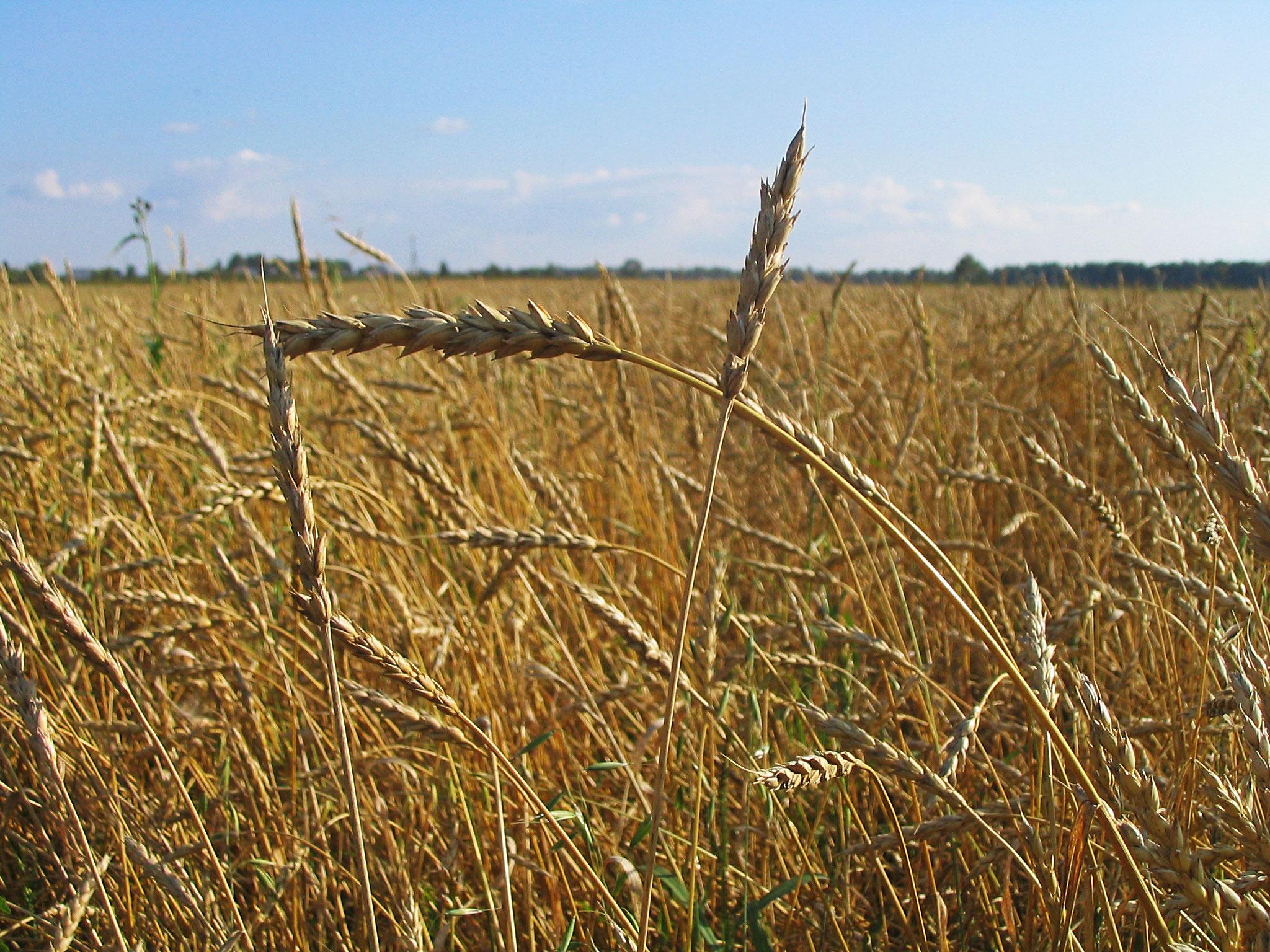 wheat free gluten free